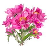 Bukett av rosa pioner med gula stamens som isoleras på vit Fotografering för Bildbyråer