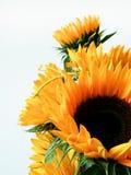 Bukett av solrosor på vit Royaltyfri Fotografi