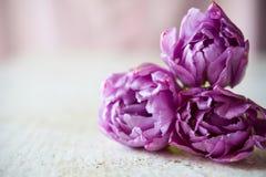 Bukett av tre purpura tulpan Royaltyfri Fotografi