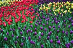 Bukett av tulpan färgrika tulpan tulpan i våren, färgglad tulpan Royaltyfri Bild