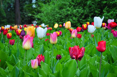 Bukett av tulpan färgrika tulpan tulpan i våren, färgglad tulpan Royaltyfria Bilder