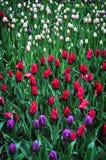 Bukett av tulpan färgrika tulpan tulpan i våren, färgglad tulpan Fotografering för Bildbyråer