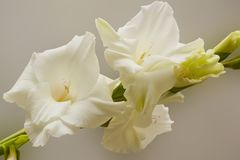 Bukett av vita gladioli Delikata gladiolusblommor för Whiteness fotografering för bildbyråer