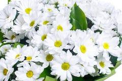 Bukett av vita kamomillar, krysantemum arkivfoto