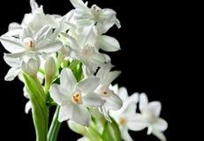 Bukett av vita Paperwhite Narcissus Flowers Arkivfoto