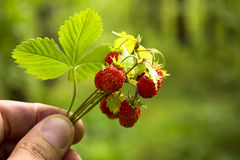 Bukett för lös jordgubbe royaltyfria foton