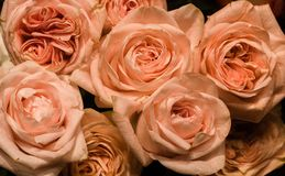 Bukett för rosor för pastellfärgad färg för elfenben arkivbild