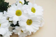 Bukett för vit blomma för krysantemumkamomill över neutral beige bakgrund med kopieringsutrymme arkivbild