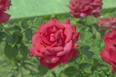 Bukett med röda ro royaltyfria foton