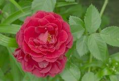 Bukett med röda ro Royaltyfria Bilder