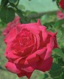 Bukett med röda ro royaltyfri fotografi
