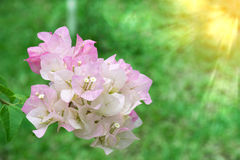 Buketten av bougainvilleahybridaen eller den pappers- blomman Royaltyfria Foton