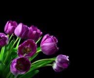 Buketten av den mörka purpurfärgade tulpan blommar på en svart bakgrund Fotografering för Bildbyråer