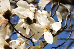 buketten blommar magnoliaen arkivbilder