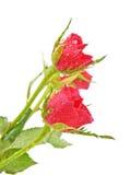 buketten kan rosen för droppleafsred se vatten dig Arkivbilder