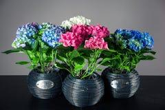 Buketter av vanliga hortensior Royaltyfria Foton