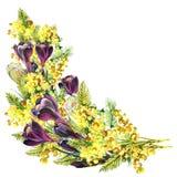 Bukettkrokus och mimosa, vattenfärg Royaltyfria Bilder