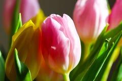 Bukettrosa färg- och gulingtulpan Arkivfoto