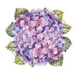 Bukettvanlig hortensiablomma, vattenfärg Royaltyfria Bilder