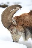 Bukhara urial Royalty Free Stock Image