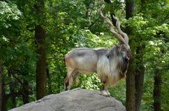 Bukharan捻角山羊、亦称土库曼人捻角山羊或者Tadjik捻角山羊(山羊属falconeri heptneri) 库存照片