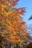 Buki w jesieni Fotografia Stock