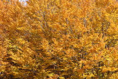 Buki w jesieni gałąź i liściach, Obraz Stock