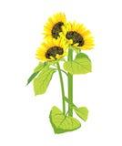 bukietów piękni słoneczniki ilustracji