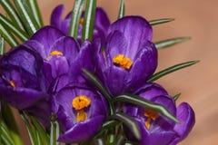Bukiet świezi piękni purpurowi fiołkowi krokusy Zdjęcia Stock