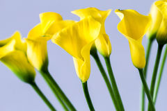 Bukiet żółta kalii leluja Obrazy Stock
