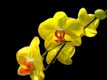 Bukiet żółte ćma orchidee Zdjęcie Royalty Free