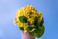 Bukiet żółty pierwiosnkowy primula kwitnie w wazie fotografia stock