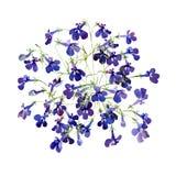 Bukiet akwarela kwitnie błękitną lobelię ilustracji