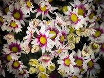 Bukiet Biały Purpurowy chryzantemy kwitnienie Zdjęcia Royalty Free