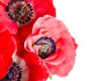Bukiet czerwień kwitnie na bielu Fotografia Royalty Free