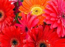 Bukiet Czerwone i Pomarańczowe Gerbera stokrotki Obraz Stock