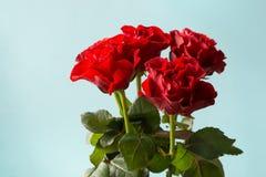 Bukiet czerwone róże na błękitnym tle s karciany valentine z bliska Zdjęcia Stock