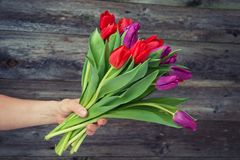 Bukiet czerwoni i fiołkowi tulipany w ręce Zdjęcie Stock