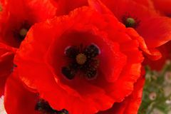 Bukiet czerwoni maczki w wazie fotografia royalty free