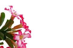 Bukiet czerwony adenium kwiatu okwitnięcie z zielonymi liśćmi obrazy stock