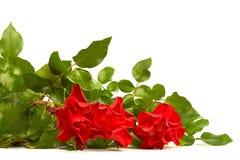 Czerwony roze Obraz Stock