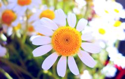 Bukiet kwiat stokrotki Fotografia Stock
