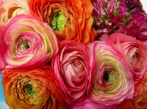 Bukiet kwiaty jaskiery Obrazy Stock