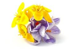 Bukiet kwitnący krokusy Zdjęcia Stock