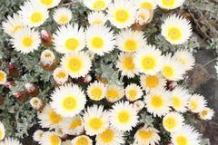 bukiet kwitnie słomianego biel Obraz Stock