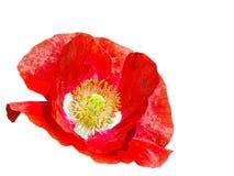 Bukiet makowy kwiat Zdjęcia Royalty Free
