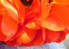 Bukiet na wielką skalę kolorów żółtych tulipany Zdjęcie Stock