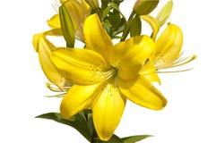 Bukiet od żółtych leluj Fotografia Royalty Free
