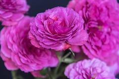 Bukiet ogrodowe róże Fotografia Royalty Free