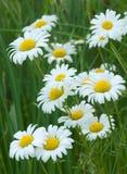 Bukiet oko stokrotki kwitnie wzdłuż strony wiejską drogę obraz stock